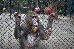 Trauriges mandrill im Käfig Stockbilder