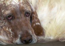 Trauriges Portrait des englischen Setzers Lizenzfreies Stockfoto
