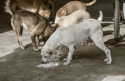 Trauriges schauendes Konzept, hungriger streunender Hund am thailändischen Tempel belagert, um ein Überrestlebensmittel auf dem B Stockfoto
