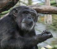 Trauriges Schimpanse-Porträt Lizenzfreie Stockfotos
