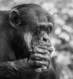 Trauriges Schimpanse-Porträt Stockfotos