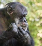 Trauriges Schimpanse-Porträt Lizenzfreie Stockfotografie