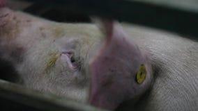 trauriges Schwein am Schweinestall stock video footage