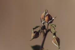 Trauriges verblaßtes rosafarbenes Blumennahaufnahmemakro Stockfoto