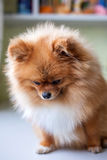Trauriges wenig schuldiges Pomeranian-Sitzen Lizenzfreie Stockfotografie