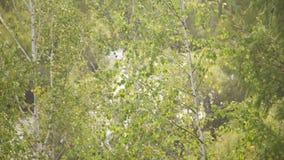 A través de abedul verde claro las hojas se ven el jugar de resplandor del sol en el agua de ondulación metrajes