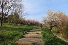 A trav?s de estas flores de cerezo, mire hacia fuera a la puerta siguiente de la colina en la primavera foto de archivo