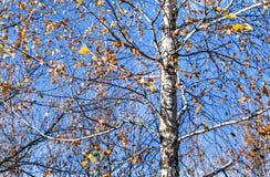 A través de las hojas de otoño del abedul vea el primer del cielo Fotografía de archivo libre de regalías