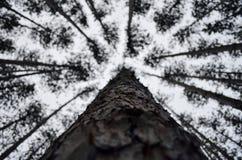 A través de los pinos Imágenes de archivo libres de regalías