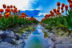 A través de Tulip Trench fotos de archivo libres de regalías