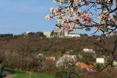 A trav?s de estas flores de cerezo, mire hacia fuera a la puerta siguiente de la colina en la primavera fotografía de archivo