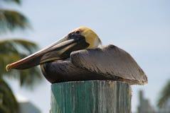 trava för pelikan Arkivfoton