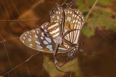 Travado no ato: Aranha da assinatura junto com sua matança (borboleta) Fotografia de Stock