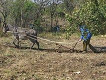 Travail d'âne dur dans le jardin Images stock