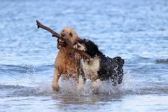 Travail d'équipe de chien - chercher un bâton Photos libres de droits