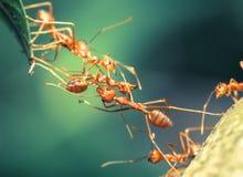 Travail d'équipe de pont de fourmi Photographie stock libre de droits