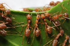 Travail d'équipe des fourmis Photo libre de droits