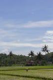 Travail d'agriculteur à la lumière du jour avec des arbres de noix de coco au fond Photos stock