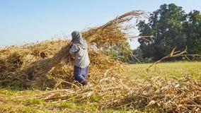 Travail de femme de village rural dans un domaine en mettant le stover de maïs dans un tas Images stock