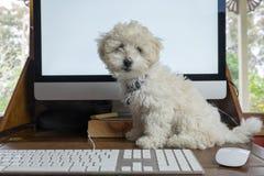 Travail de la maison avec le chiot de frise de bichon sur le bureau avec le compu Image libre de droits