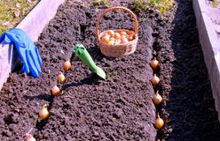 Travail de ressort sur semer des légumes sur le lit préparé images libres de droits