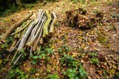 Travail de sylviculture - coupe d'un arbre doux de chesnut dans la réserve naturelle du bois antérieure, Crowhurst, le Sussex est images stock