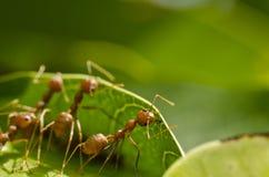 Travail rouge d'équipe de fourmis Image stock