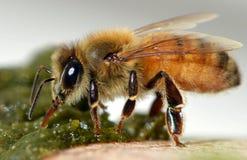 Travailleur d'abeille Photos stock