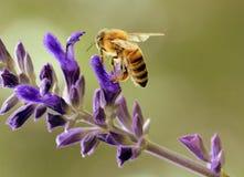 Travailleur d'abeille photographie stock libre de droits