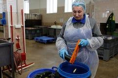 Travailleur d'usine de traitement des denrées alimentaires des produits alimentaires déchiquetant la courgette photos libres de droits