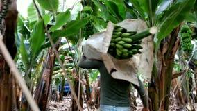 Travailleur dans les groupes de transport de banane de plantation de banane banque de vidéos