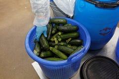 Travailleur de l'usine de traitement des denrées alimentaires des produits alimentaires prenant la courgette images stock