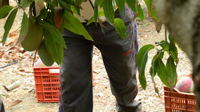 Travailleur rassemblant le fruit de mangue accrochant dans l'arbre manuellement banque de vidéos