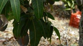 Travailleur rassemblant le fruit de mangue accrochant dans l'arbre manuellement clips vidéos