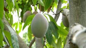 Travailleur rassemblant le fruit de mangue manuellement banque de vidéos