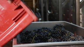 Travailleur remplissant poubelle de pressoir à vin des raisins récemment récoltés banque de vidéos