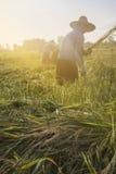 Travailleurs coupant le riz dans Paddy Field Images libres de droits