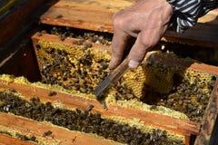 Travailleurs d'abeille de miel sur le nid d'abeilles Photographie stock libre de droits