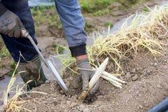 travailleurs dans la ferme pendant la moisson de l'asperge blanche photographie stock libre de droits