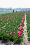 Travailleurs dans les domaines de fleur néerlandais Photographie stock