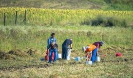 Travailleurs de champ moissonnant la pomme de terre Images stock