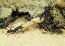 Travailleurs de fourmi Photographie stock libre de droits