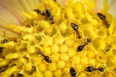 Travailleurs de fourmi sur la fleur Photographie stock libre de droits