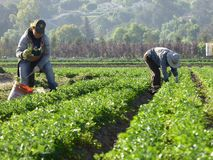 Travailleurs de jour dans les domaines de Carpinteria en Ventura County, la Californie photographie stock