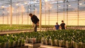 Travailleurs en serre chaude croissante de grande orchidée moderne dans Westland, Hollande banque de vidéos