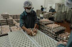 Travailleurs mettant des oeufs au befrore de panier mettant aux incubateurs d'oeufs de poulet Photographie stock