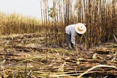 Travailleurs moissonnant la canne à sucre Photos libres de droits