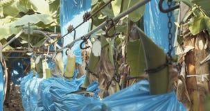 Travailleurs pendant la récolte de banane clips vidéos