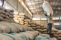 Travailleurs portant de grands sacs des grains de café crus, hommes empilant la La photo stock