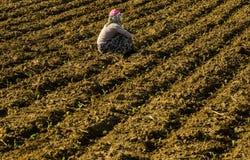 Travailleuse saisonnière dans le secteur de production agricole dans Anatolie photos libres de droits